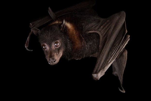 01-giant-bat-nationalgeographic_1576201
